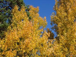 обои Осенние осинки леса фото