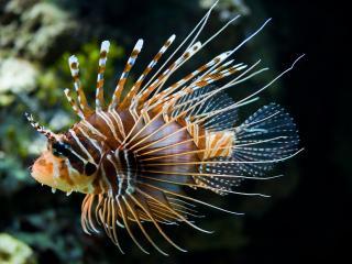 обои Рыба еж в морских водах фото