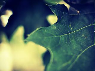 обои Зеленый кленовый лист фото