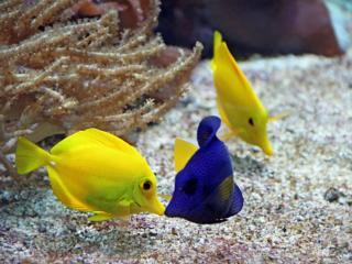 обои Жёлтые и синие рыбки фото