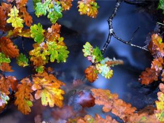 обои Дубовые листья осени фото
