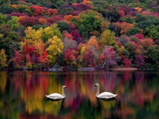 обои Лебединое осеннее озеро фото