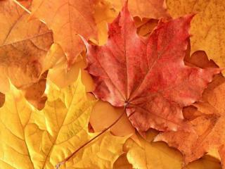 обои Осенние разноцветные кленовые листья фото