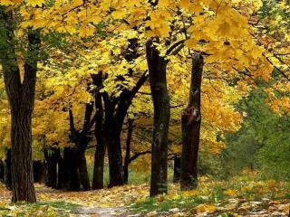 обои для рабочего стола: Осенняя аллея старых клёнов