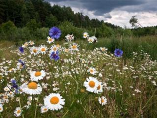 обои Полевые цветы на опушке леса фото