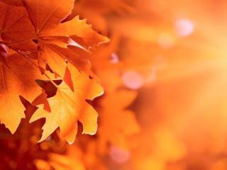 обои Кленовые осенние листья в лучах солнца фото