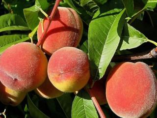 обои Спелые персики фото