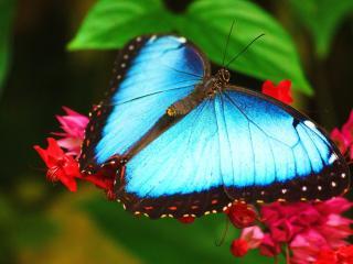 обои Голубая бабочка на цветах красных фото