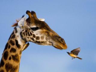 обои для рабочего стола: Жираф и птица