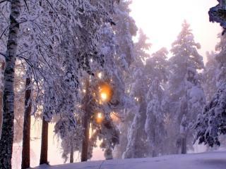 обои Морозным утром всё сверкает в зимнем перелеске фото