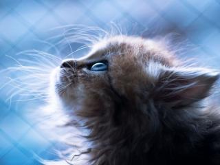 обои Голубоглазый пушистый котёнок фото