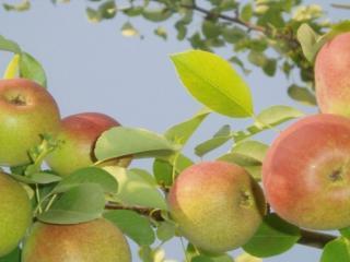 обои Свежие яблоки фото