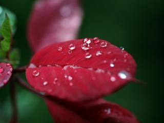 обои На красных листьях капли росы фото