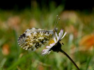 обои На ромашке ночная бабочка фото