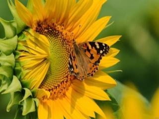 обои Бабочка на нераскрывшемся подсолнухе фото