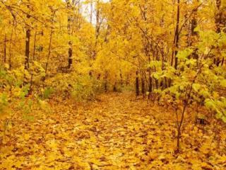 обои для рабочего стола: Жёлтые деревья,   жёлтая земля