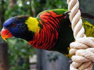 обои для рабочего стола: Разноцветный попугай на канате