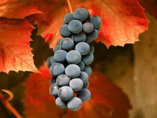 обои Осенние гроно винограда фото