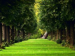 обои Ровная травка между рядами деревьев фото