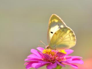 обои Светлая бабочка на цветке розовом фото