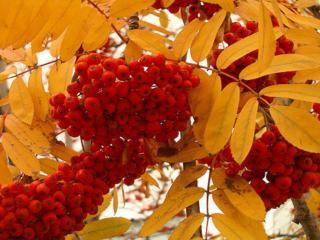 обои Рябина красная а листья жёлтые фото