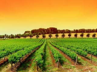 обои Ряды виноградника фото