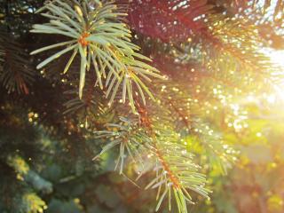 обои Утро в лесу хвойном фото