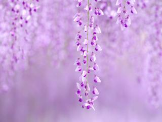 обои Фиолетовые цветы ветки на фиолетовом фоне фото