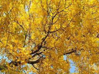 обои Жёлтое,   осеннее кружево дерева фото