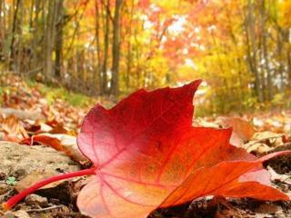 обои Красный лист на осенней дороге фото