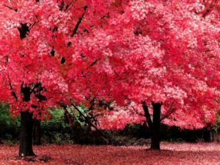 обои Малиновый цвет осени в лесу фото