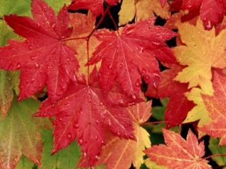 обои Осенние листья в каплях дождя фото