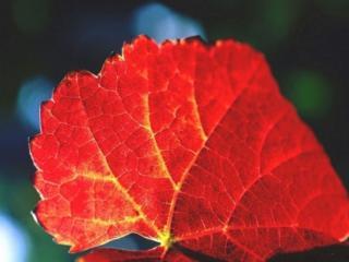 обои Осенний лист крупным планом фото