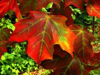 обои Листья багряные фото