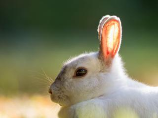 обои Прозрачные уши кролика фото