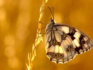 обои Бабочка на колоске фото