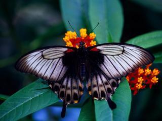 обои На пестром цветке красавица бабочка фото