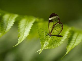 обои Прозрачная бабочка фото
