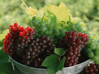 обои Виноградные спелые гроздья фото