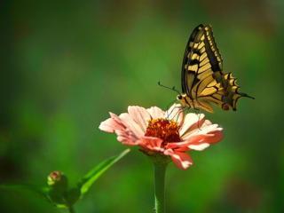 обои Мимолетная красота бабочки фото