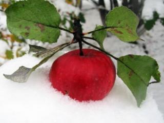 обои Красное яблоко на снегу фото