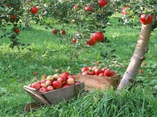 обои Урожай яблок фото