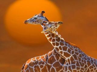 обои Влюблённые жирафы фото