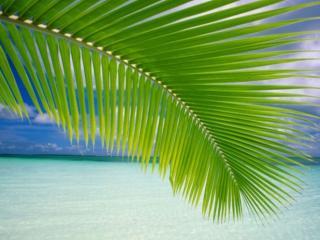 обои Пальмовая веточка фото