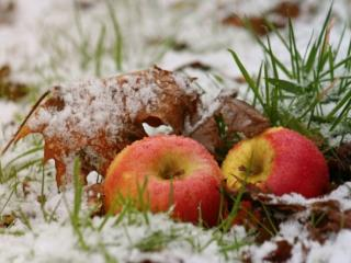 обои Первый снег и яблоки фото