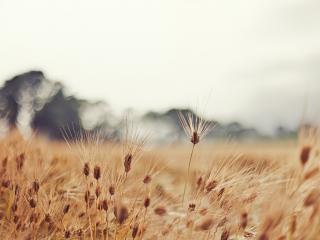обои Колоски пшеницы на поле фото