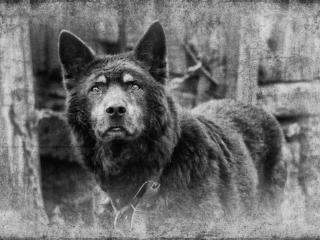 обои Портрет собаки с умными глазами фото
