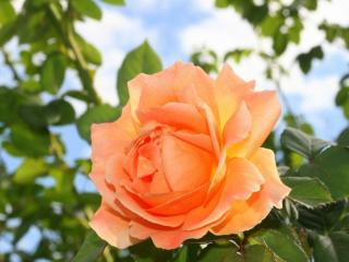 обои Роза из маминого сада фото