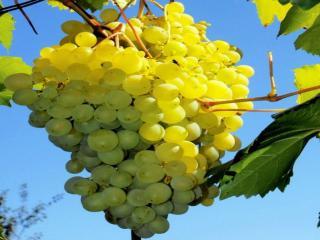 обои Сибирский виноград фото