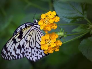 обои Бабочка и два жёлтых цветка фото